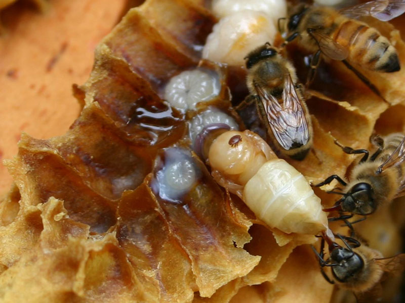 Varroa mite on honey bee pupa