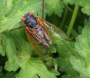 Cover photo for Should Farmers & Gardeners Worry About 17-Year Cicadas?