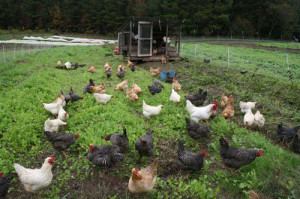Cover photo for Pastured Poultry Educational Programs