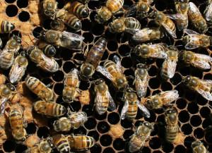 Honey bee queen and workers