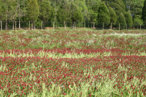 Crimson clover and forage radish cover crop at Harland's Creek Farm