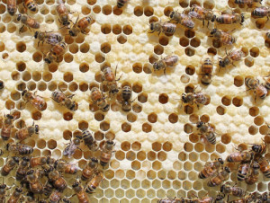 Cover photo for Winter Losses of Honey Bee Colonies