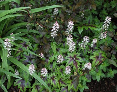 Spiderwort, eastern ninebark, and foamflower