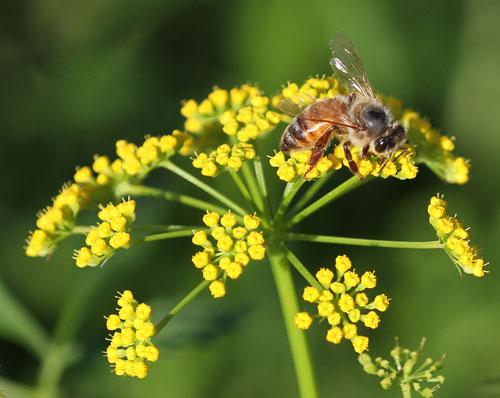 Honey bee on golden alexander