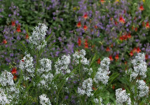 Bluestar (Amsonia hubrichtii) in front of catmint and wild columbines.