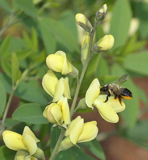 Leafcutter bee on wild indigo