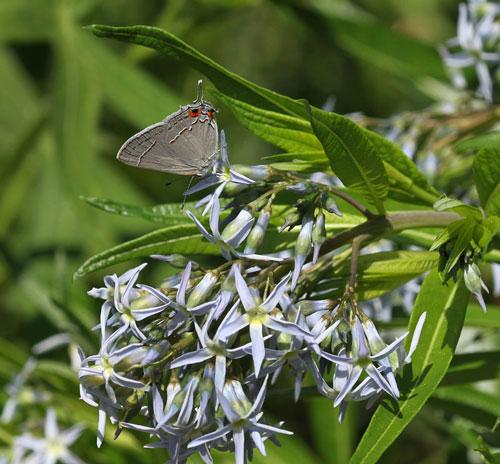 butterfly on bluestar
