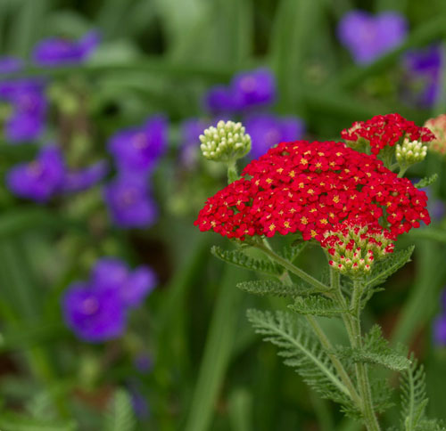 Yarrow with spiderwort in the background.