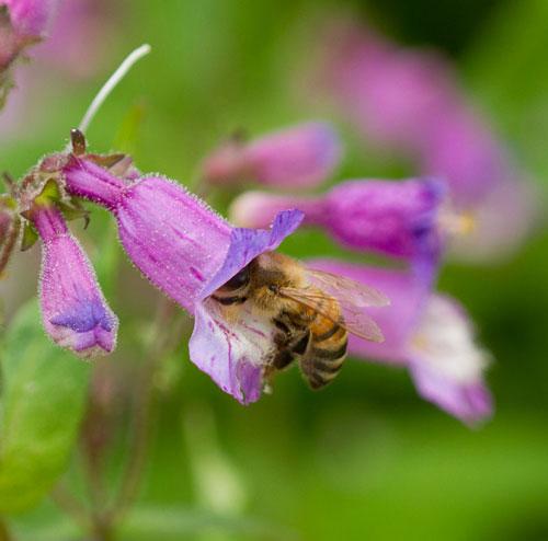 Honey bee on small's beardtongue