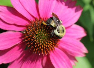 Brown-belted bumble bee on purple coneflower