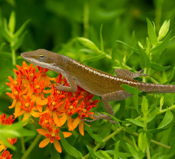 Carolina anole on butterfly weed