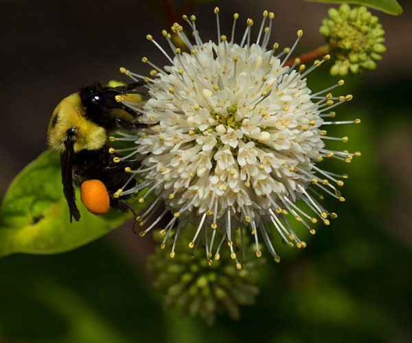 Bumble bee on buttonbush