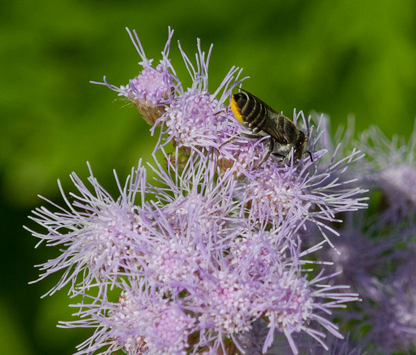 Leafcutter bee on wild ageratum
