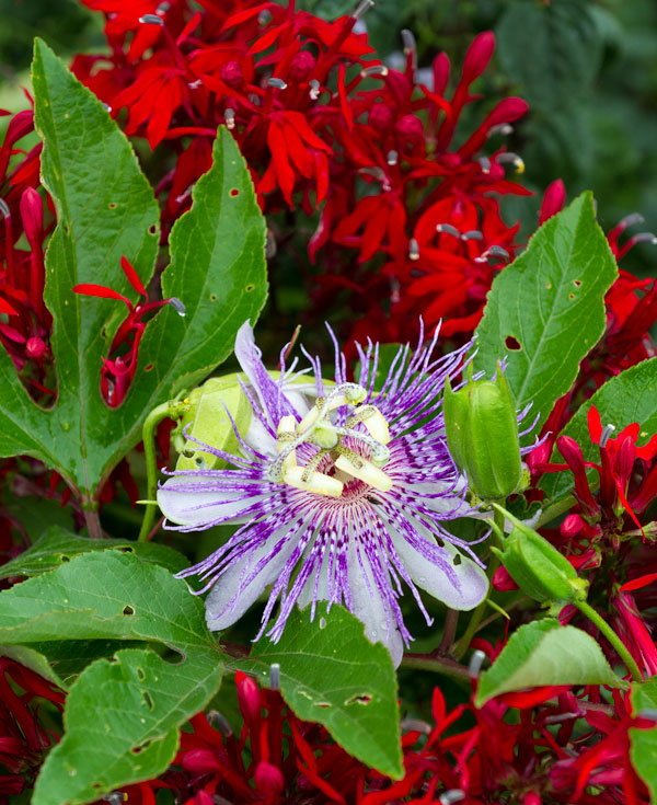 Purple passionflower and cardinal flower