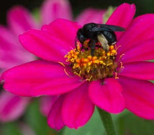 Two-spotted long-horned bee on zinnia