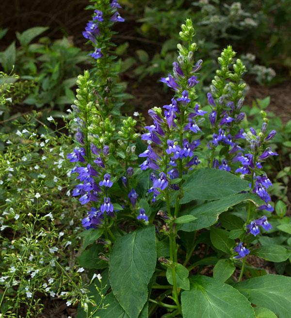 pollinator garden plants