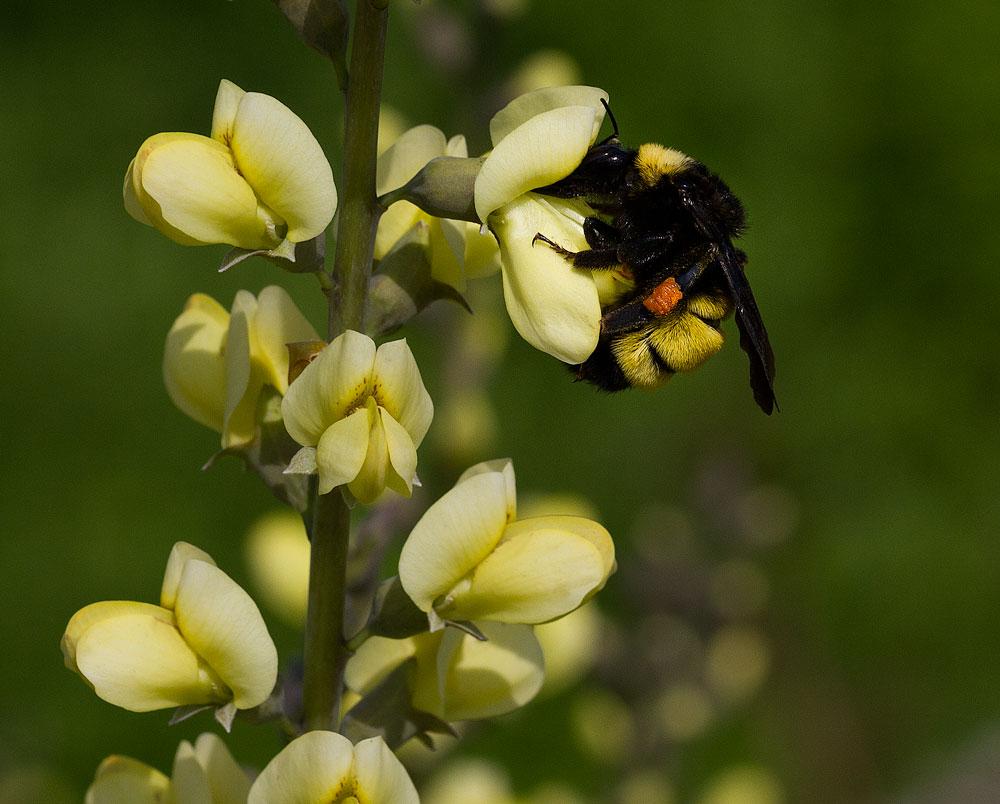 American bumble bee on wild indigo