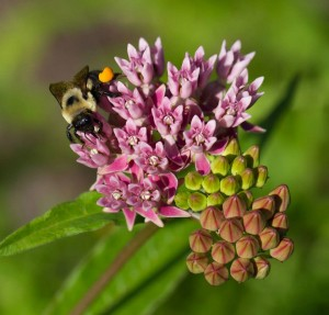 Bumble bee on red milkweed (Asclepias rubra).