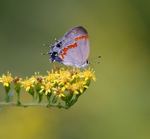 Red-banded hairstreak on rough goldenrod (Solidago rugosa).