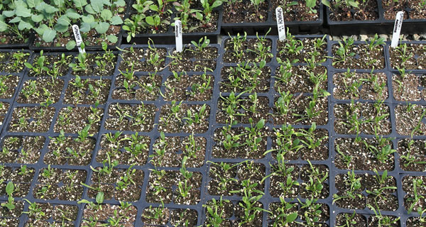spinace seedlings