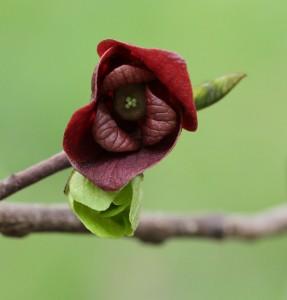 Paw paw flower. Photo by Debbie Roos.