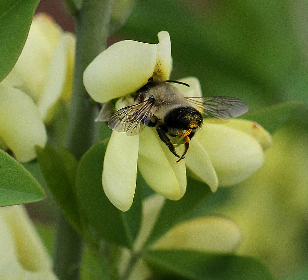 Leafcutter bee foraging on wild indigo