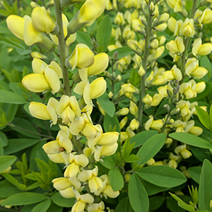 Carolina Moonlight wild indigo