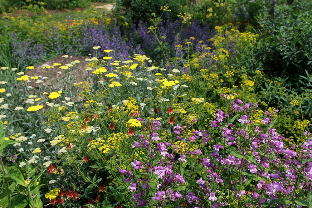 Spring in the pollinator garden: beardtongue, yarrow, golden alexander, columbine, and catmint.