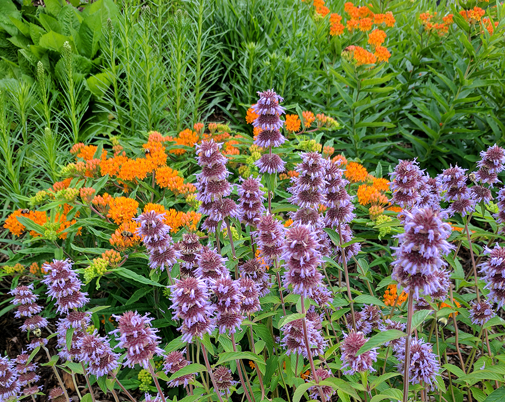 spring combo of downy wood mint and orange butterfly weed.