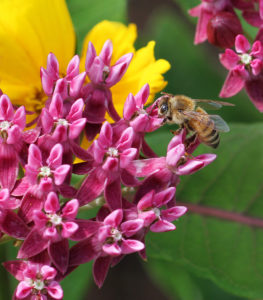 Honey bee on native purple milkweed