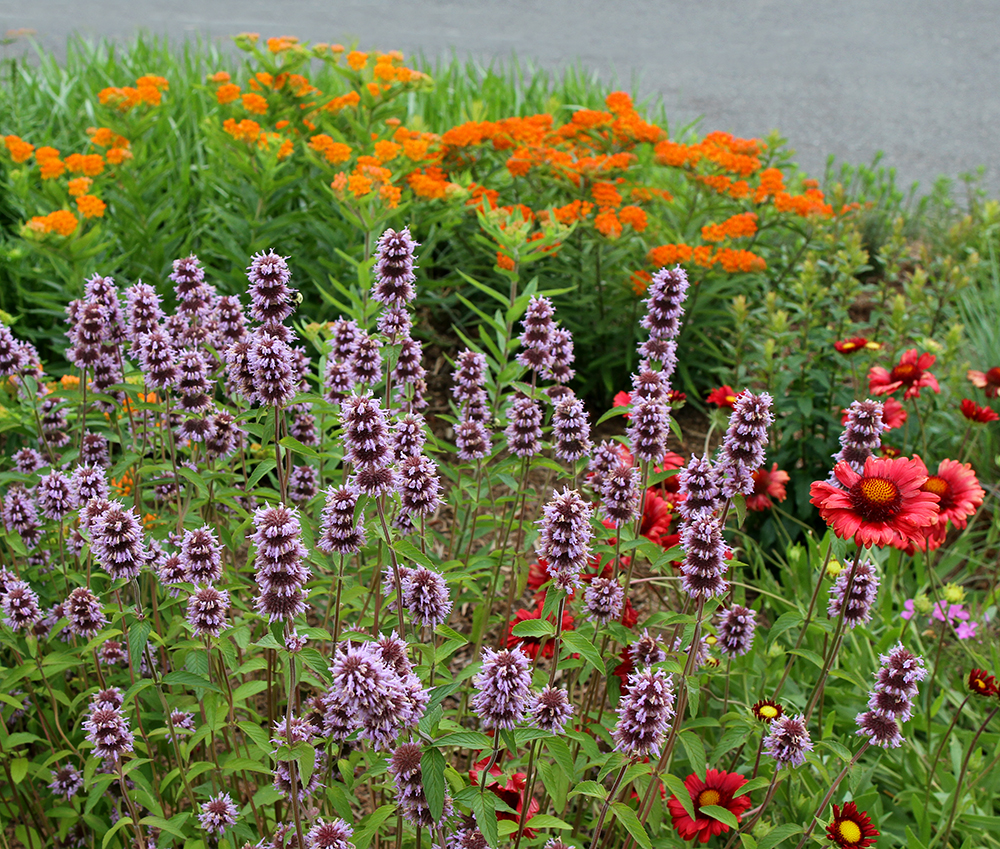 May 21 snapshot of one of the pollinator garden beds featuring downy wood mint, butterfly weed, and lanceleaf blanketflower.