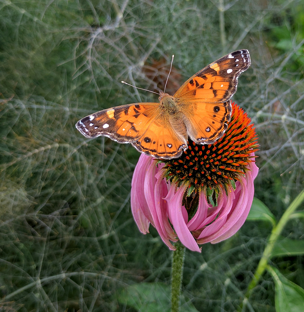 American lady on coneflower.