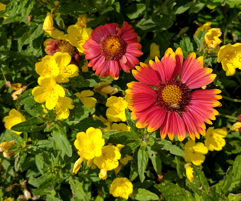 Pretty combo of lanceleaf blanketflower and southern sundrops!