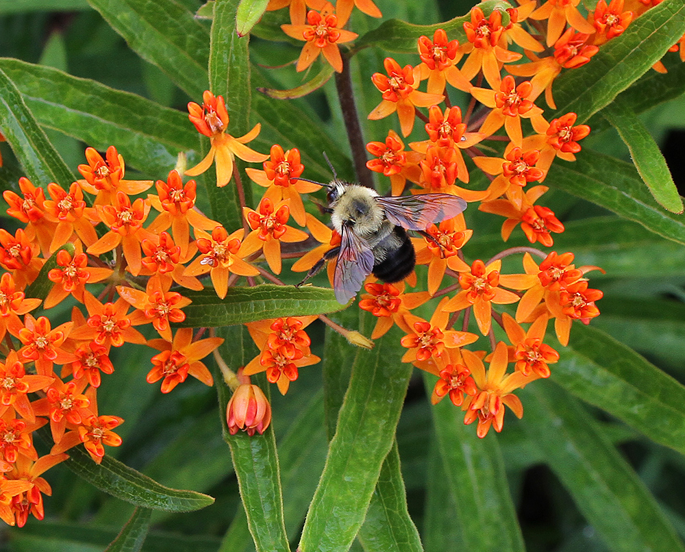 Bumble bee on butterfly weed.