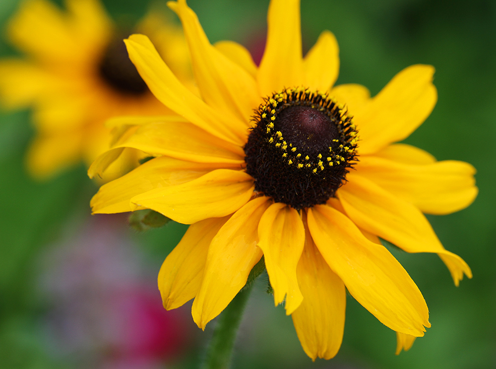 Black-eyed susan.