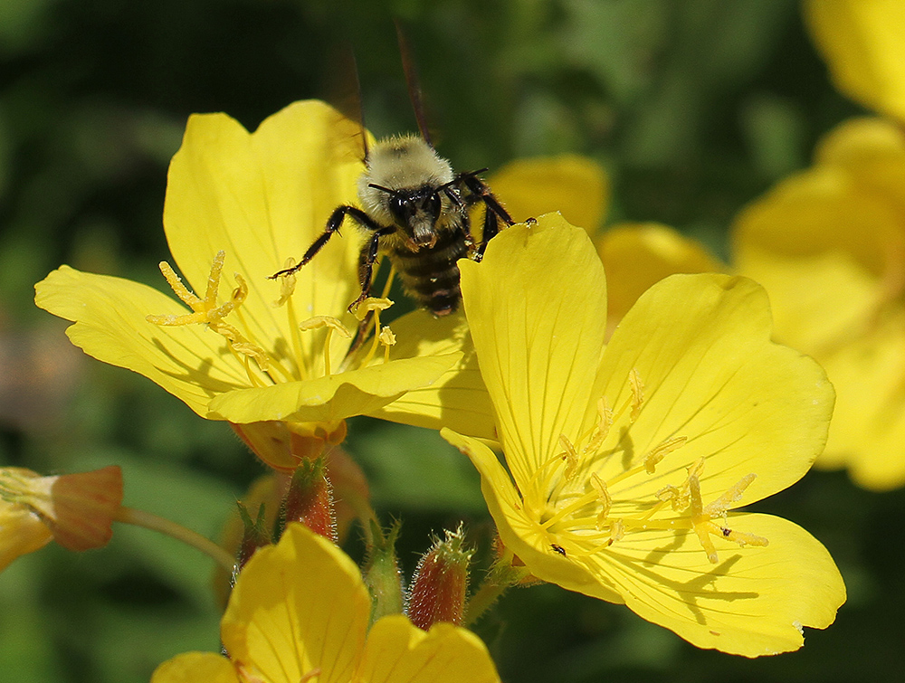 The southern sundrops provide a favorite foraging spot for the bumble bees.