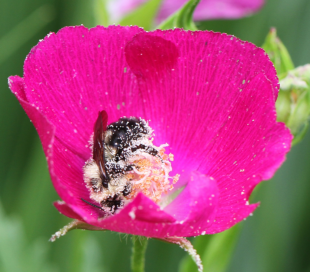 bees on poppy mallow