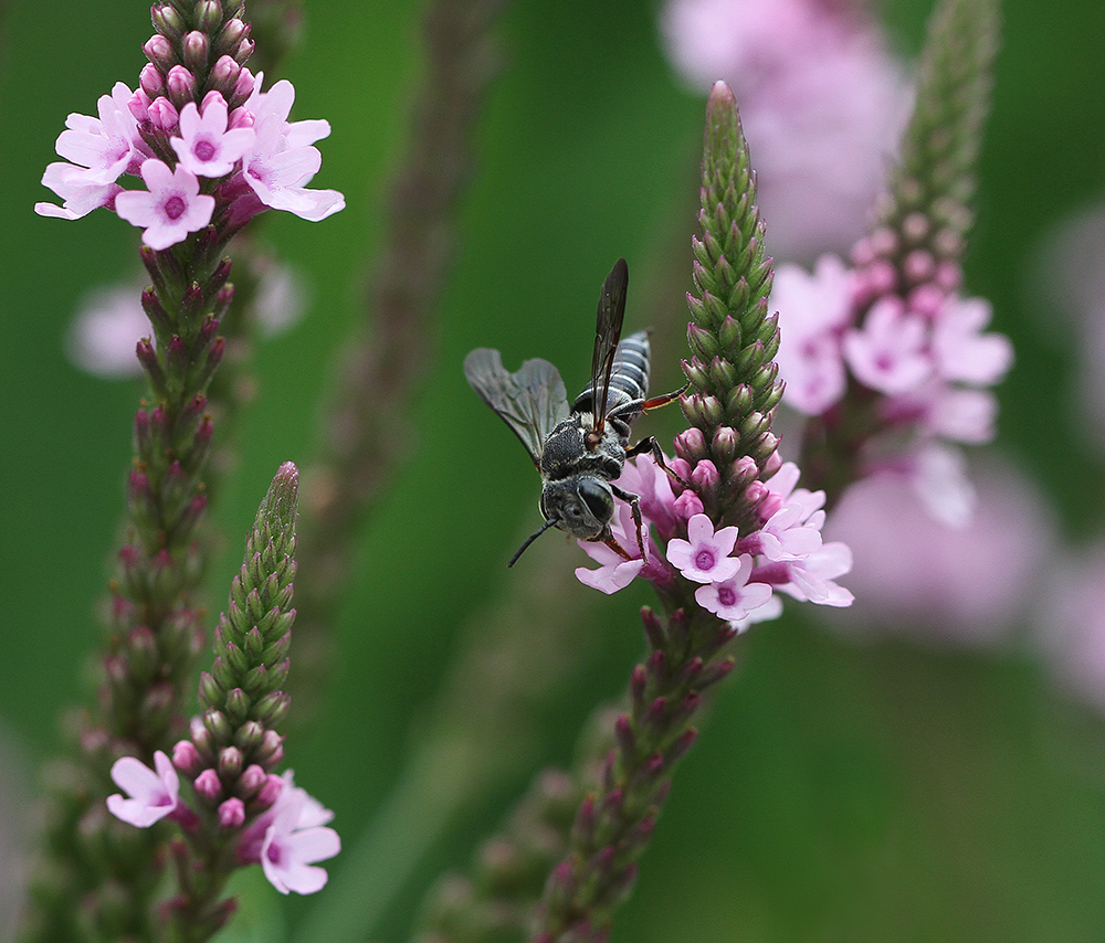A cuckoo-leaf-cutter bee forages on the pink form of blue vervain.