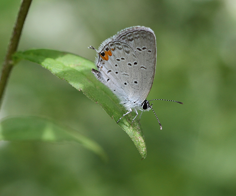 Sweet little eastern tailed-blue
