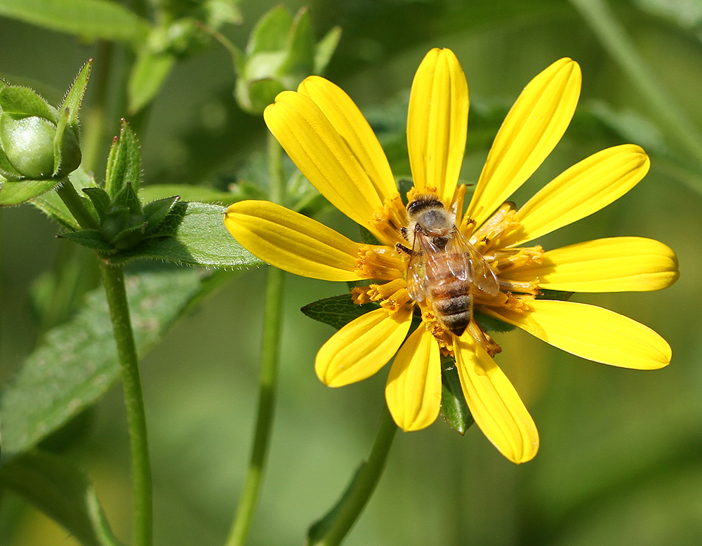 Honey bee on starry rosinweed