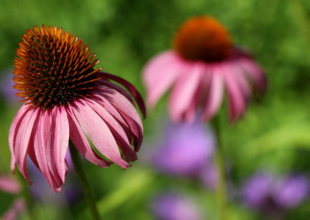 Coneflowers and stoke's aster.