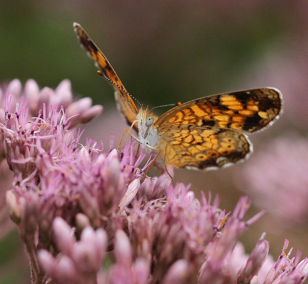 Pearl crescent enjoying the joe-pye weed.