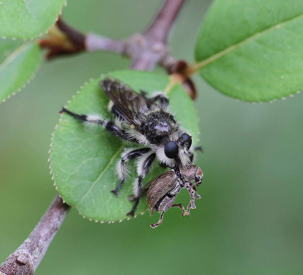 Robber fly with beetle prey on blackhaw viburnum.