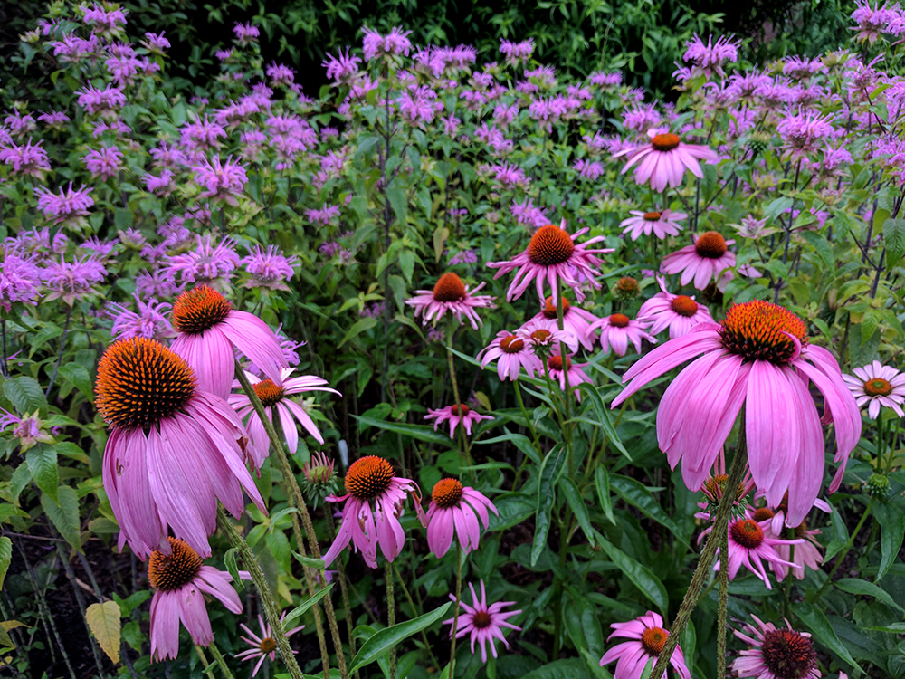 Coneflowers and bee balm in early June.