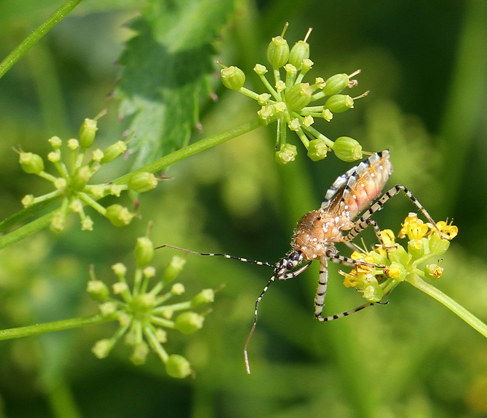 Assassin bug hunting on golden alexander.