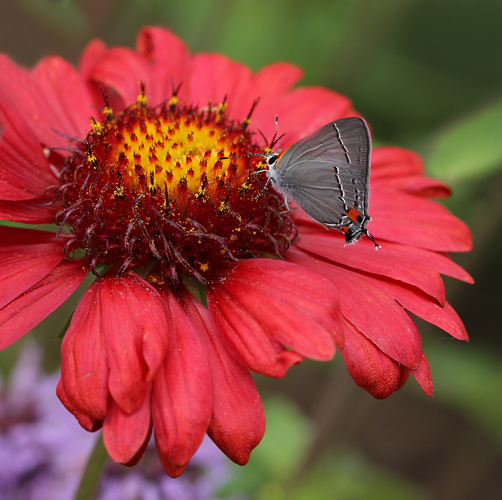 Gray hairstreak nectaring on the lanceleaf blanketflower in mid-May.