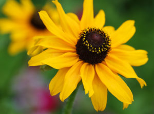 Black-eyed susan (Rudbeckia hirta) in late May.