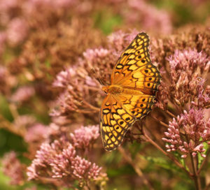 Variegated fritillary on joe-pye weed.