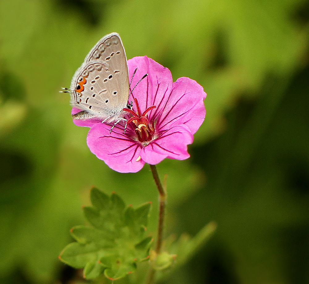 Eastern tailed-blue on perennial geranium 'Dilys'.