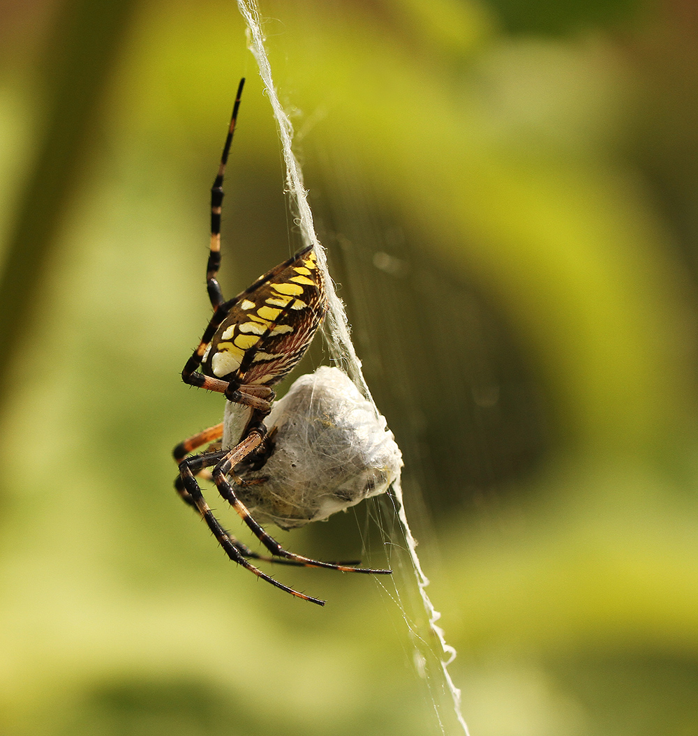 Writing spider (Argiope aurantia) wraps its prey in silk.
